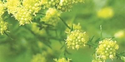 2 cây cỏ đặc biệt lọt vào giải Nobel Y học